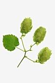Hops shoots and a leaf