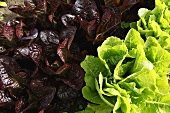 Organic Red and Green Lettuces Growing in the Garden