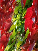 Vine leaves in their autumn colours