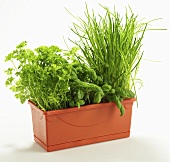 Parsley, basil and chives in a plant pot