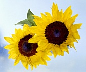 Two sunflowers from above