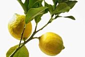 Lemons in a Lemon Tree