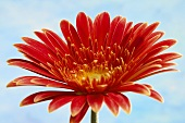 Red Gerbera against sky-blue background