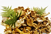 Chanterelles with ferns