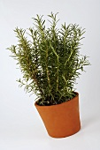 Rosemary in a cache-pot