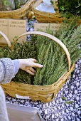 Woman Selecting Fresh Rosemary From a Basket if Herbs; Market