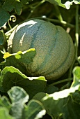 Cantaloupe Growing in the Plant
