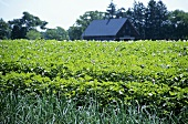 Potato Fields on a Farm