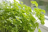Parsley plant by window