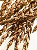 Ears of spelt wheat on white background