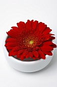 A red Gerbera in a small bowl of water