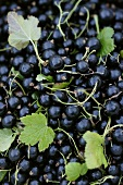 Blackcurrants with leaves