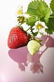 One red and one green strawberry on stalk with flowers