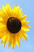 Sonnenblume vor blauem Hintergrund