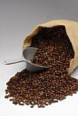 Spilt jute sack full of coffee beans with scoop