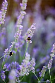 Lavender flowers with two bumble-bees