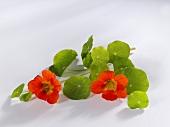 Nasturtium flowers with leaves