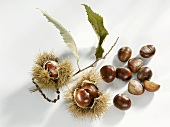 Sweet chestnuts with twig and shell