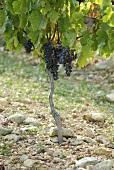 Merlot grapes on the vine (France)