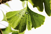 Ginkgo leaf with drops of water