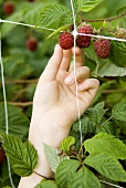 Child's hand picking a raspberry