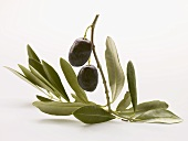 Olive sprig with two black olives