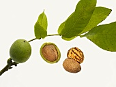Shelled and unshelled walnuts with twig
