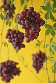 Red grapes, hanging against yellow background