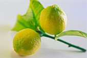 Two fresh lemons on the stem