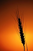An ear of wheat