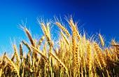 Wheat in a field of wheat
