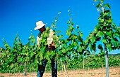 A man working in a vineyard