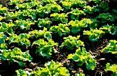 Anbau von Salat