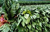 Man harvesting tobacco