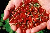 Redcurrants held in two hands