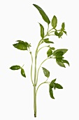 A stalk of basil