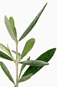 Olive sprig (close-up)
