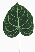 Anthurium (Flamingo flower) leaf