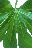 Leaf, close-up