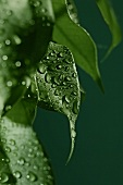 Dewdrops on leaves