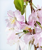 Spray of Japanese ornamental cherry blossom