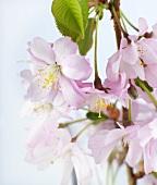 Spray of Japanese ornamental cherry blossom