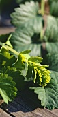 Salad burnet on wooden background