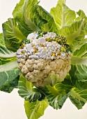 Blumenkohlkopf zur Hälfte aus Pillen