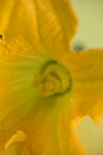 Courgette flower (close-up)