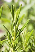 Fresh rosemary in the open air