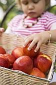 Child reaching for nectarine in basket