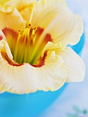 Day lily in blue bowl (close-up)