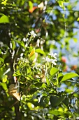 Jasmine flowers on the bush