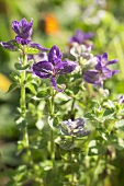 Painted sage (Salvia horminum) in the open air